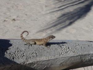 Cayman Brac Curly-tail