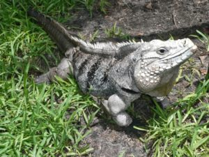 Iguana on Cayman Brac