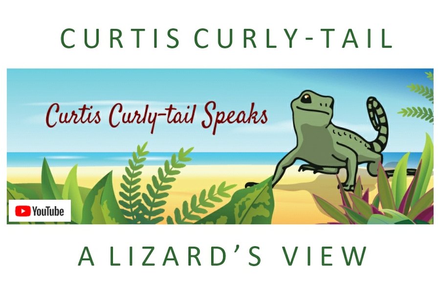 illustration of curly-tail lizard, curtis