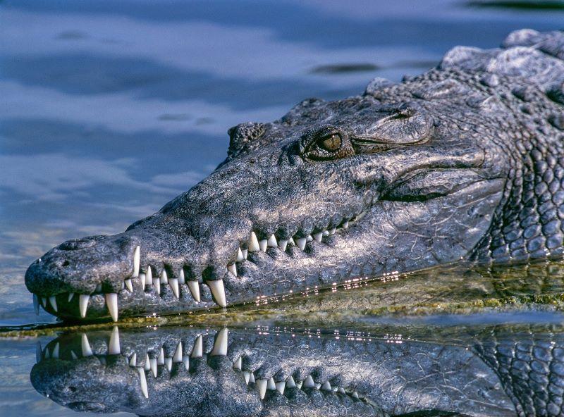 Alligator vs. the Marshmallow