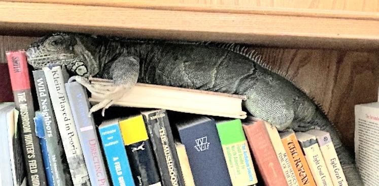 Ever Heard of a 'Book Iguana?'