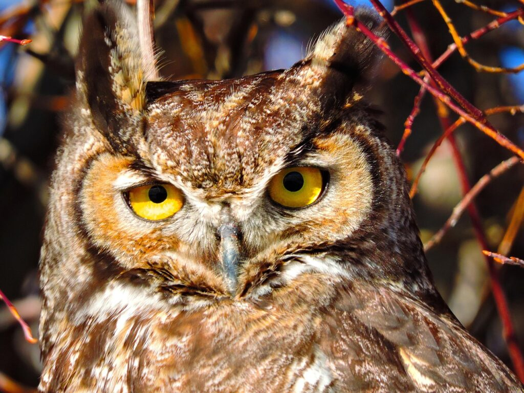 image of great horned owl