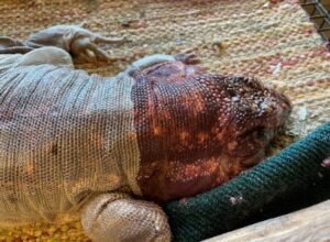 photo of red tegu