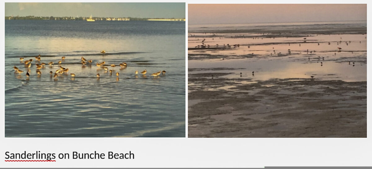 Sharing the Shores with the Sanderlings