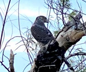 photo Cooper's Hawk Accipiter cooperii