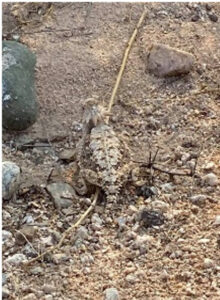 photo of Horned Lizard in Sonoran Desert