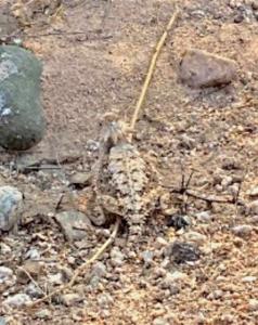 photo Regal Horned Lizard Phrynosoma solare