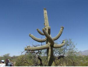 photo of a saguaro cactus in the Sonoran Desert