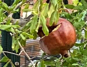 pomegranate and bird