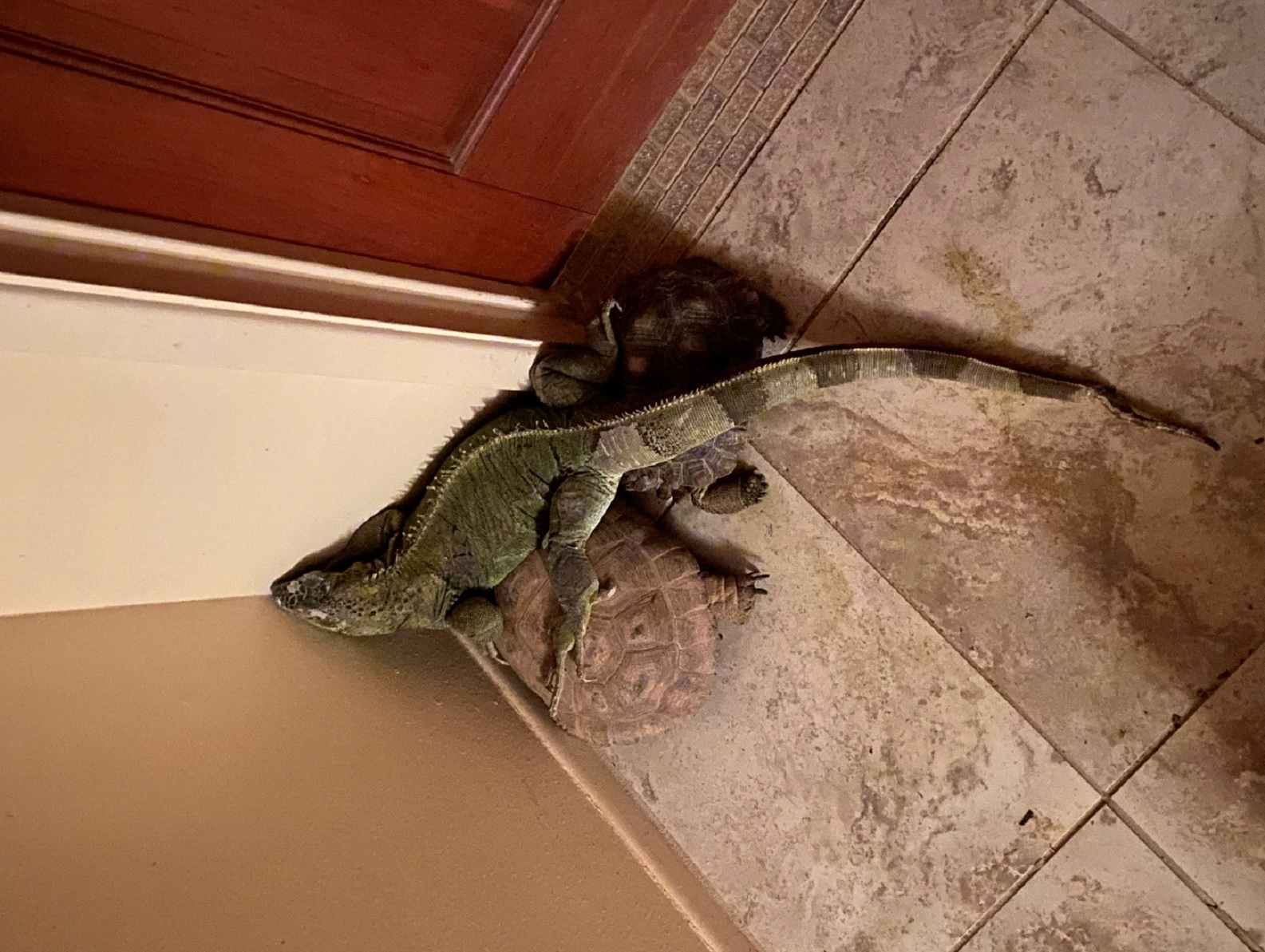 Two tortoises and a green iguana sleep together