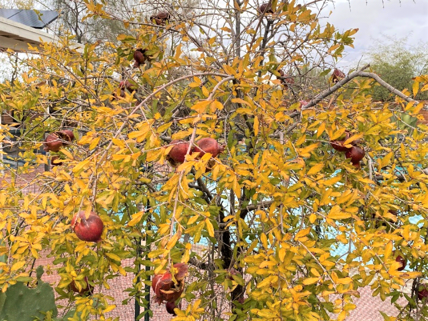 photo of pomegranate tree with red fruit