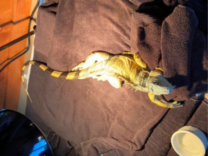 A green iguana recovering after surgery