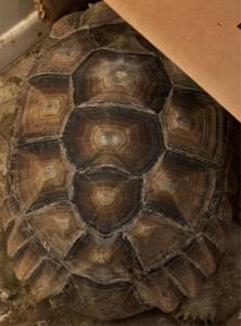 Cantata the Sulcata Tortoise  (Geochelonesulcata)