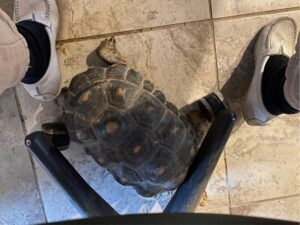 photo of Myrtle red foot tortoise pusing chair