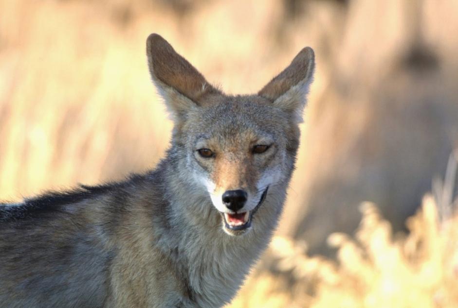 photo of coyote in deserrt