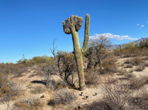 photo crested saguaro in Sonoran Desert