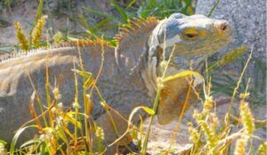 photo San Salvador rock iguanas are critically endangered. Credit Anthony Martin.