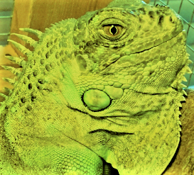 close up of head of green iguana