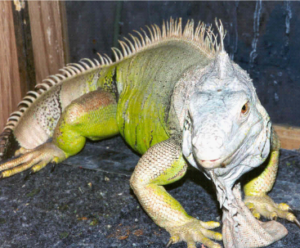 photo of green iguana named Algae