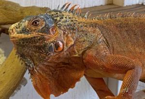 a red. hybrid green iguana