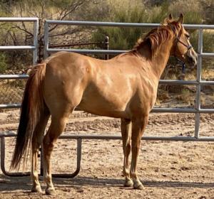 photo of quarter horse gleding age 4