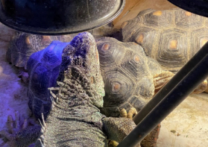 photo of large green iguana on top of tortoise
