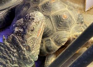 photo of large green iguana head resting on tortoise shell