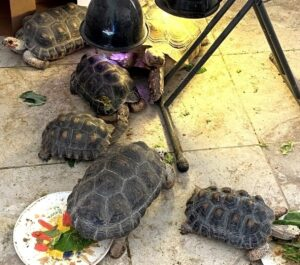 6 tortoises of three species gathered around a heat lamp