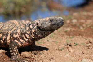 photo of gila monster