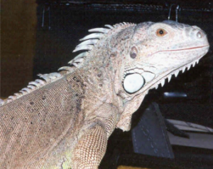 photo of green iguana named Noel