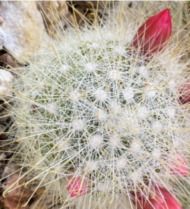 photo of cactus Mammilaria senilis.