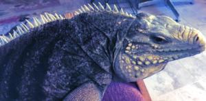 photo of blue iguana hybrid