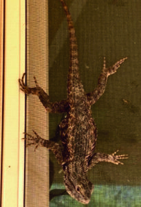 photo 3 of spiny tail lizard