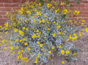 photo of brittlebush plant