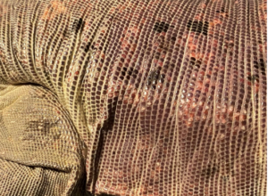photo of red tegu back
