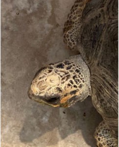 photo of plain head of red-footed tortoise