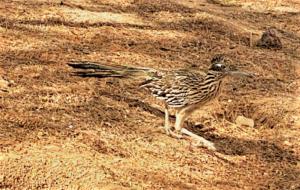 photo of roadrunner bird