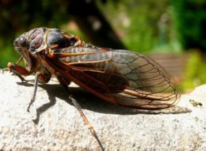 photo of Brood X Cicada