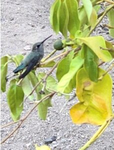 photo of female blue-throated mountain gem hummer