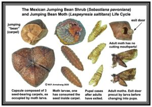 image of mex jumping bean stages