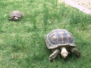 A small but full-grown desert tortoise chases a much larger but still growing sulcata tortoise across the grass.