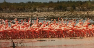 A group of pink flamingoes wading in shallow water.